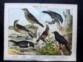 Kirby & Schubert 1889 Antique Bird Print. Thrush, Fieldfare Ring Ouzel Blackbird